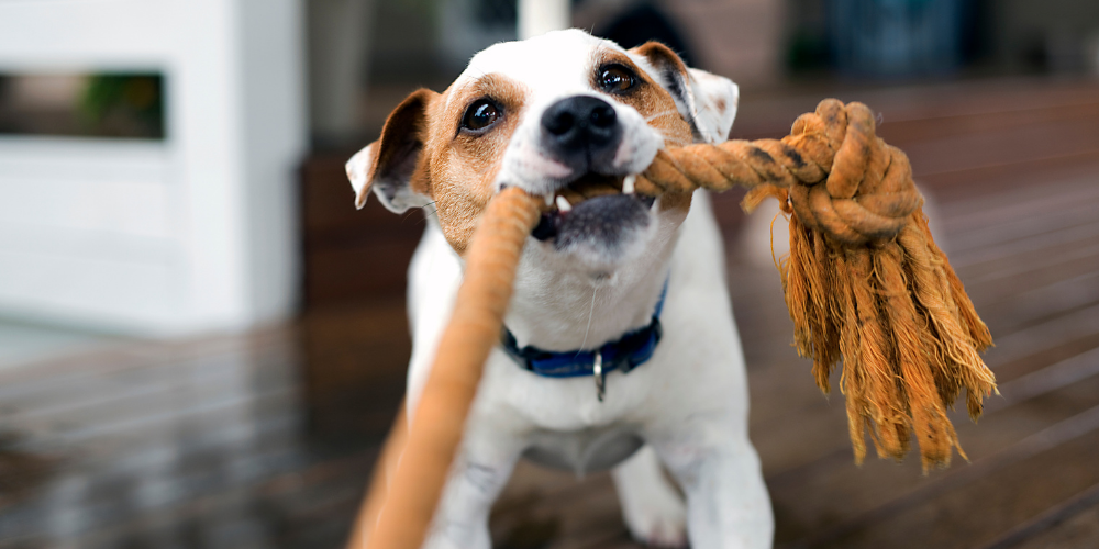 A picture of a Fox Terrier playing tug of war