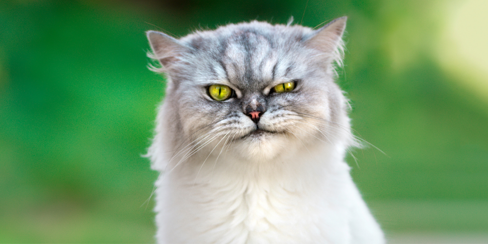 A picture of a grumpy white and grey cat
