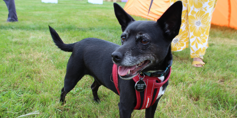 A picture of Jasper the Jack Russell Terrier x Chihuahua at The Petsure Games