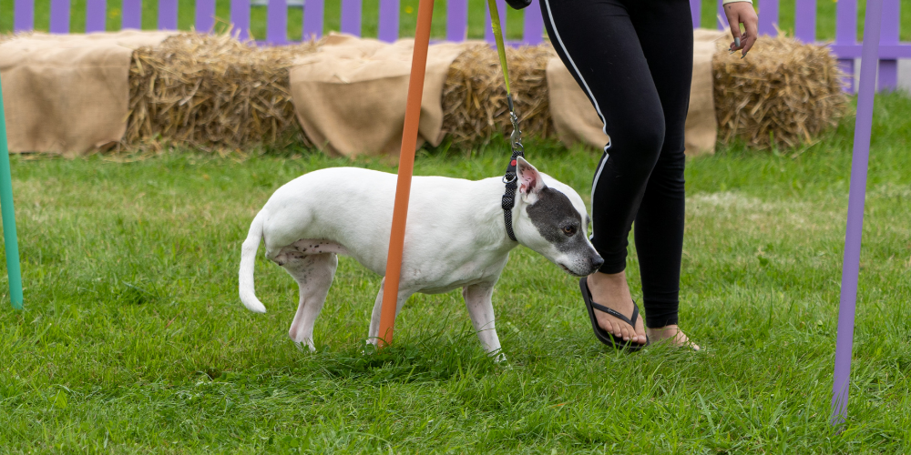 A picture of Lola competing in The Petsure Games