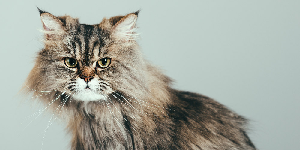 A picture of a hypoallergenic long-haired cat