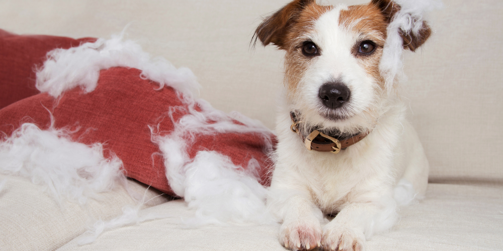 A picture of a Jack Russell Terrier with a destroyed blanket