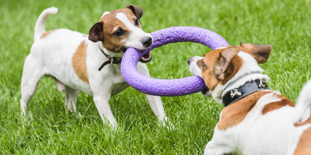 A picture of two Terriers playing tug of war with a foam hoop