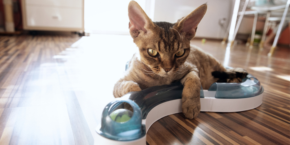 A picture of a grumpy Devon Rex playing with a cat ball game