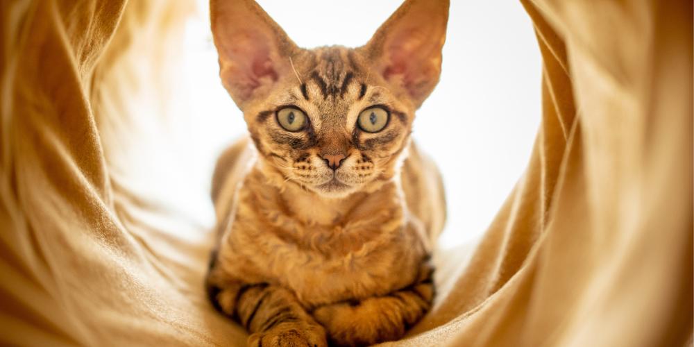 A picture of a Devon Rex sat inside a cat tunnel