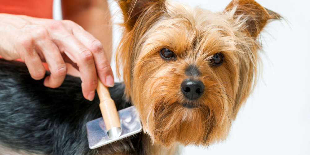 A picture of a Yorkshire Terrier being groomed with a brush