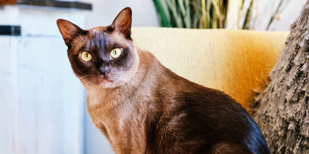A picture of a Burmese cat sat on a sofa