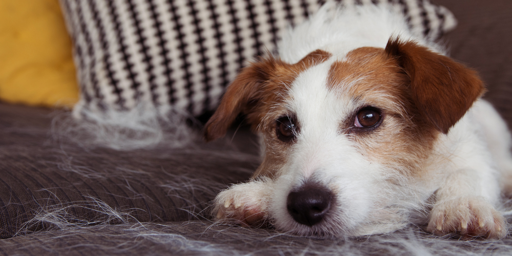 A picture of a Jack Russell Terrier sat on a sofa covered in loose fur