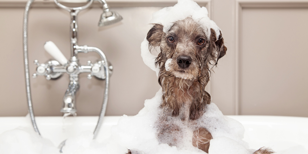 A picture of a grey hairy dog in the bath